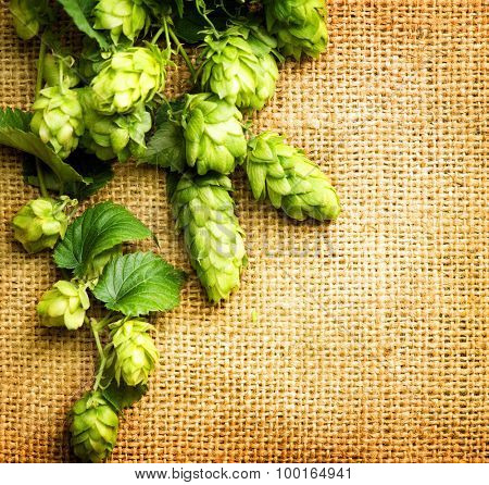 Fresh Branch of Hop with leaves and cones close up on Burlap background. Hop close up. Ingredients for Beer. Brewing beer ingredients. Brewery concept. Texture burlap backdrop. Vertical photo