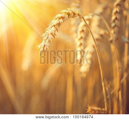 Ears of wheat close up. Golden field of wheat background. Beautiful Nature Sunset Landscape. Rural Scenery under Shining Sunlight. Rich harvest Concept