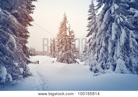 Winter landscape with snow-covered spruce forest and footpath. Christmas view. Color toning
