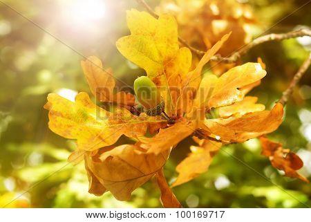 yellow oak leaves and acorn