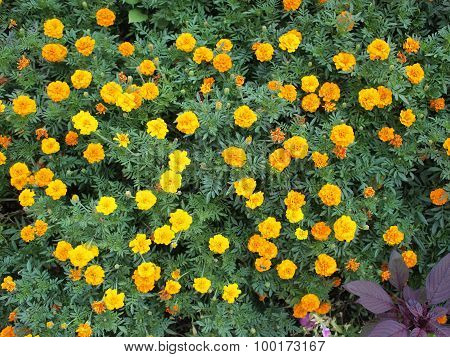 Top View Of A Big Flower Bed Of Yellow Flowers