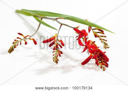 Red Crocus Blossoms And Leaf On White Background