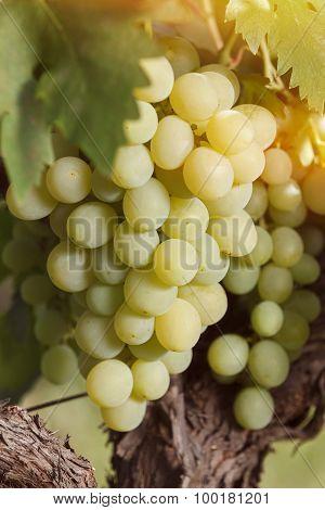 Fresh white grapes on vine