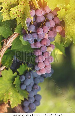 Various types of grapes on a vine in a vineyard