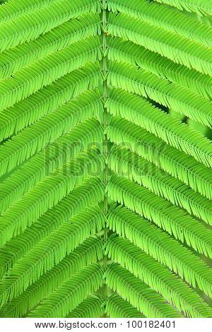 Climbing Wattle leaf