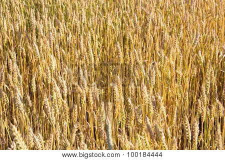Texture Wheat Field