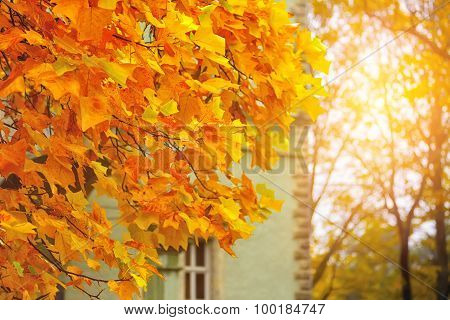 Autumn Yellow Leaves Of Maple