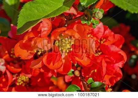 flowers Japanese quince