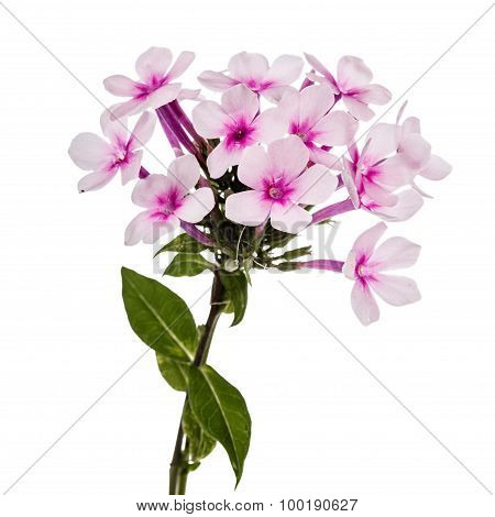 Pink Flower Phlox, Isolated On White Background