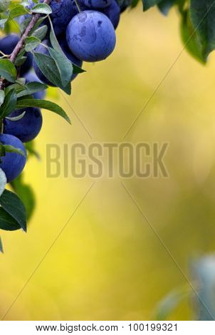 Frame with Blue Plum , Ripened In An Orchard