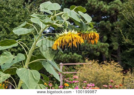 Wilted and Drooping Sunflower Plants