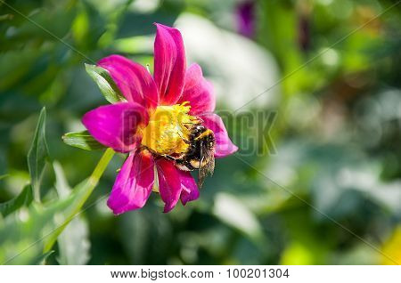 Close-up Of Bumblebee On A Flower