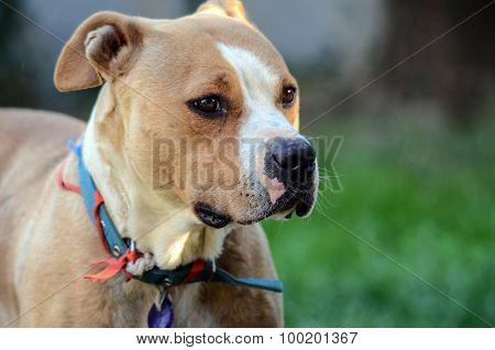 Picture of a beautiful female amstaff called Bella