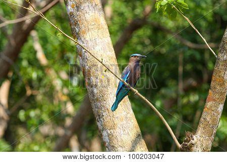 Indian Roller (coracias Benghalensis) Bird