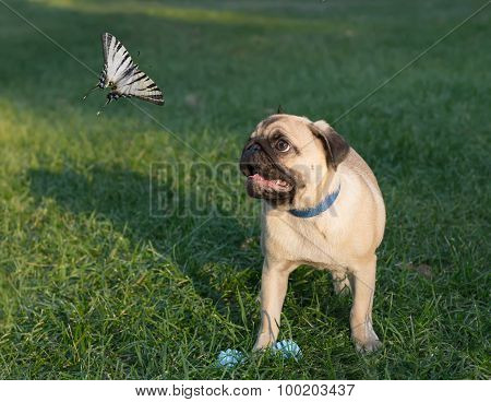 the puppy pug on grass is watching on butterfly known as papilionidae