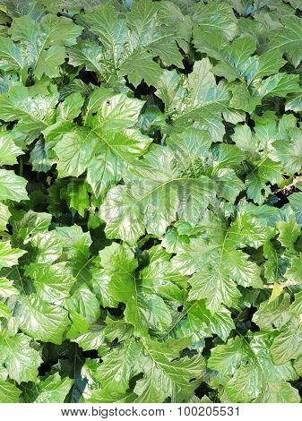 Dense green leafy wall background