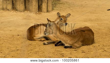 The antilopes of zoological park of Paris.