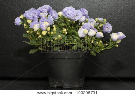 Lilac campanula in flowerpot isolated on black