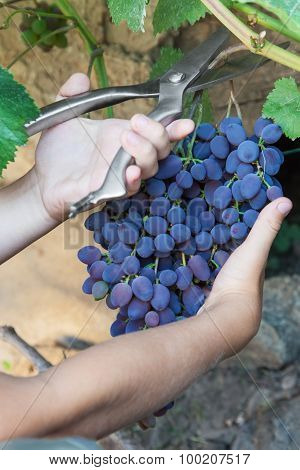 Picking Grapes - Harvest Time