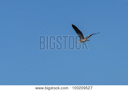 Gray Heron Bird Sky
