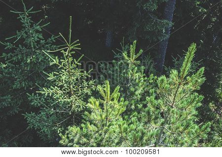 Green Fir Forest