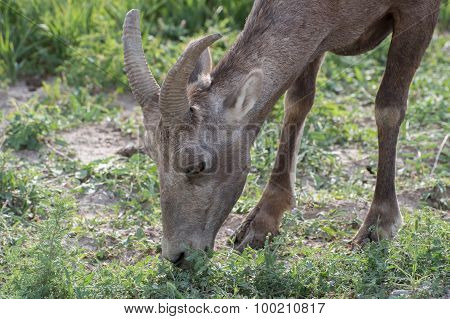Grazing Bighorn Sheep