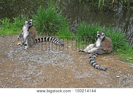 Ring-Tailed Lemurs In A Zoo