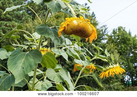 Close-up of Group of Wilted Sunflowers