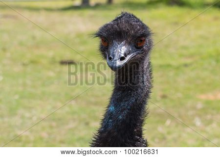 Head of Emu with Green Grass