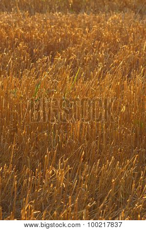 Golden Wheat Straw Stubble