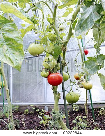 Ripening Green And Red Tomatoes