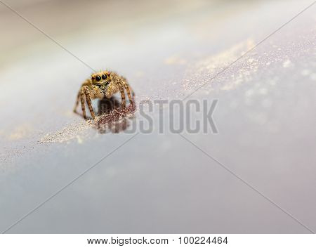 Jumping Spider On Reflective Plane
