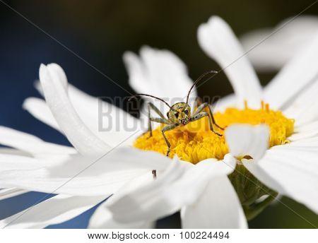 Longhorn Beetle (strangalia Quadrifasciata) Portrait