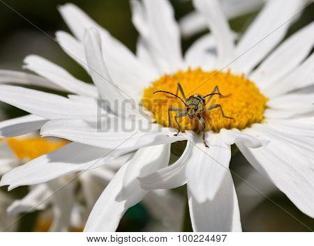 Longhorn (strangalia Quadrifasciata) On Daisy