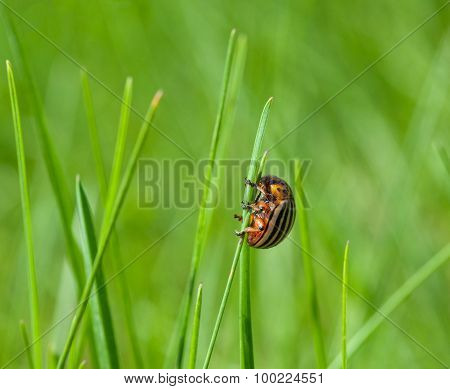 Colorado Beetle On Top Of Grass Blade