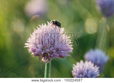 May Beetle On Onion Flower