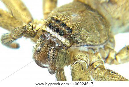 Heteropoda Venatoria Is Brown Spider On White Background Close-up