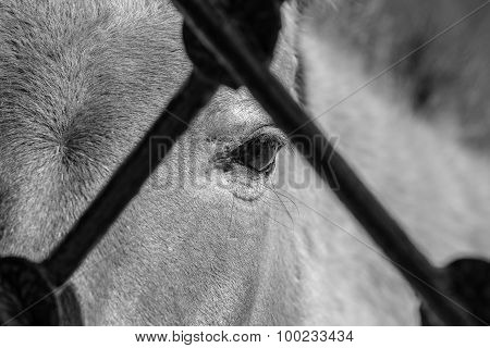 Part Muzzle Horse Of Gray Color With Big Open Eyes