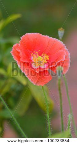 Beautiful Single Sed Poppy Flower