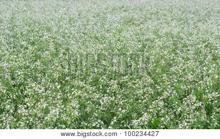 Beautiful White Mustard Flowers Field