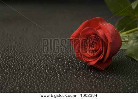 Wet Rose Series