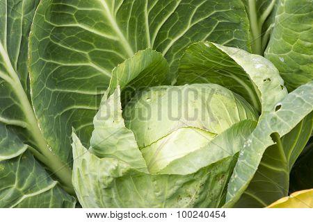 Head Of Cabbage In Garden