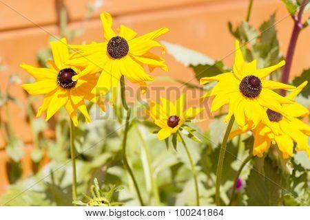 Rudbeckia Bloom In Garden