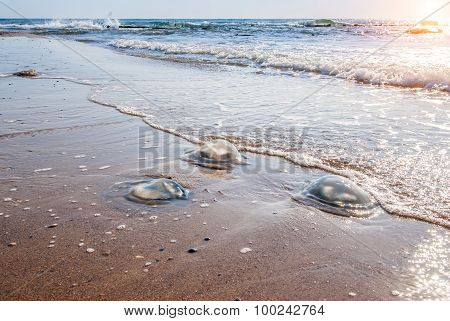 Large  Jellyfish Lies On The Shore Of A Beach.