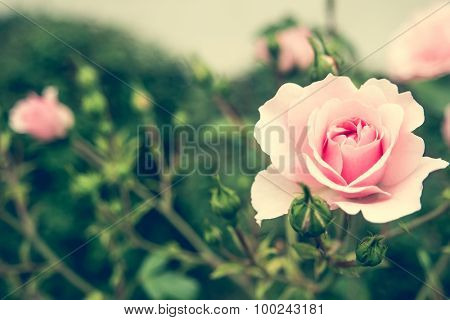 pink rose bush with flowers and green buds