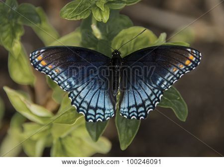 Red Spotted Purple on Basil Plant