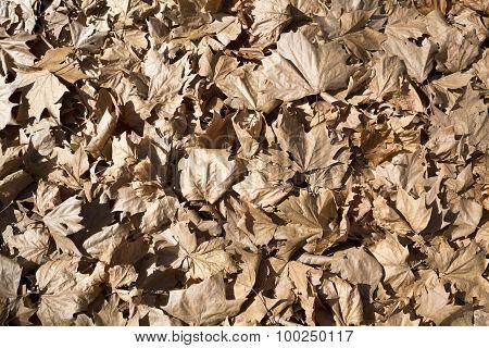 Fallen Maple Tree Leaves
