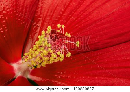 Beautiful Red Hibiscus Flower, Macro