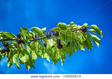 Ripe cherries on a cherry branch