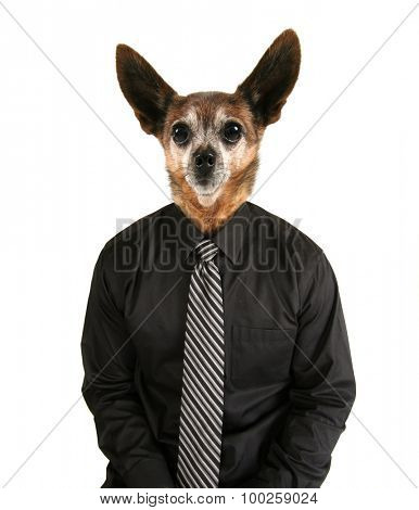 portrait of a chihuahua mix dog as a business looking off to the side man wearing a suit and red tie isolated on a white background